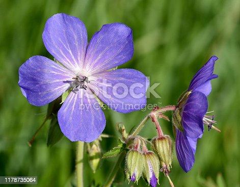 Meadow-storkbill, Geranium pratense is a wild-growing meadow-flower with purple flowers.