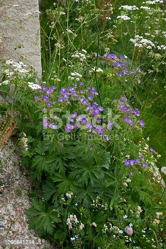 istock Geranium pratense 1295641214