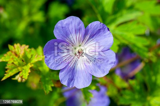 istock Geranium Rozanne 'Gerwat' 1295769029