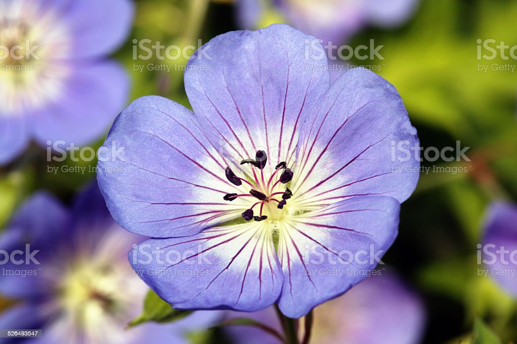 Geranium Rozanne 'Gerwat' stock photo