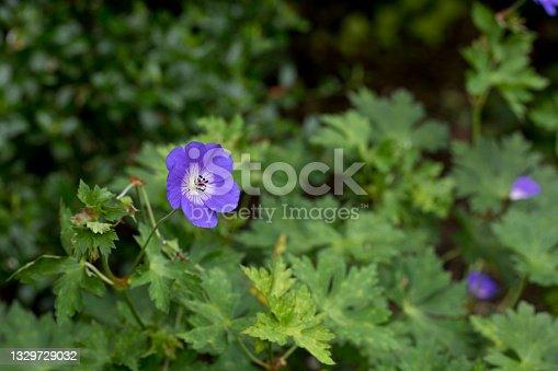 istock Geranium Rozanne in flower in a garden in summer, England 1329729032