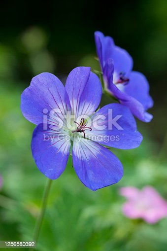 istock Geranium Rozanne in flower in a garden in summer, England, United Kingdom 1256580392