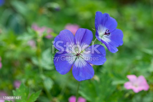 istock Geranium Rozanne in flower in a garden in summer, England, United Kingdom 1256581431