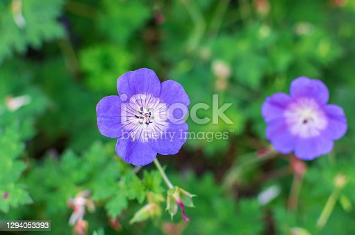 istock Geranium Rozanne perennial hardy blossoms 1294053393