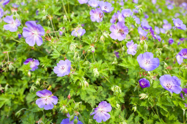 Geranium Rozanne plants. stock photo
