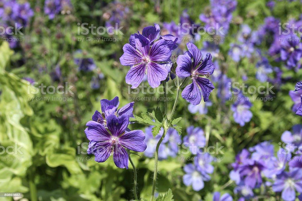 Geranio sp. flores foto de stock libre de derechos