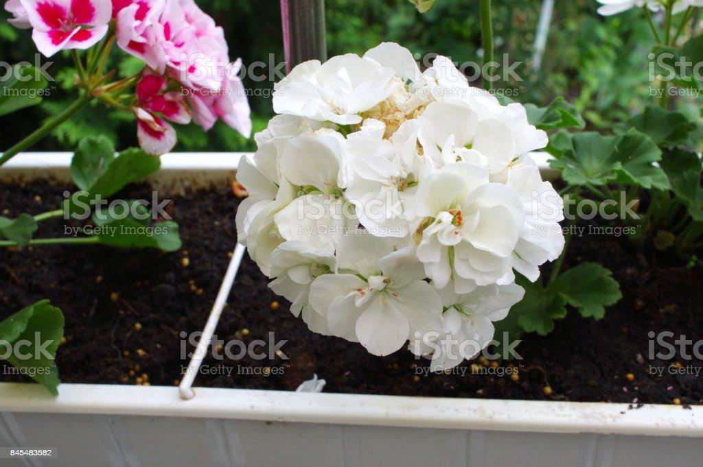 geranium white flower stock photo
