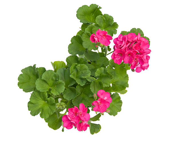 Geranium with Clipping path stock photo