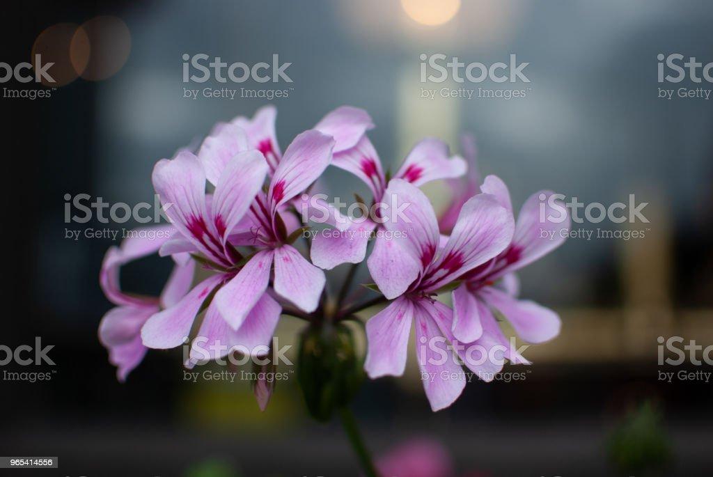 Geranium with pink flowers royalty-free stock photo