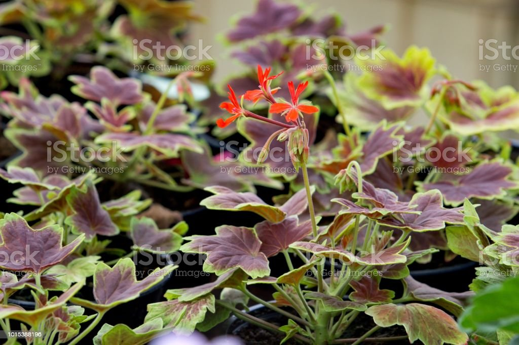 geranium with red leaves stock photo