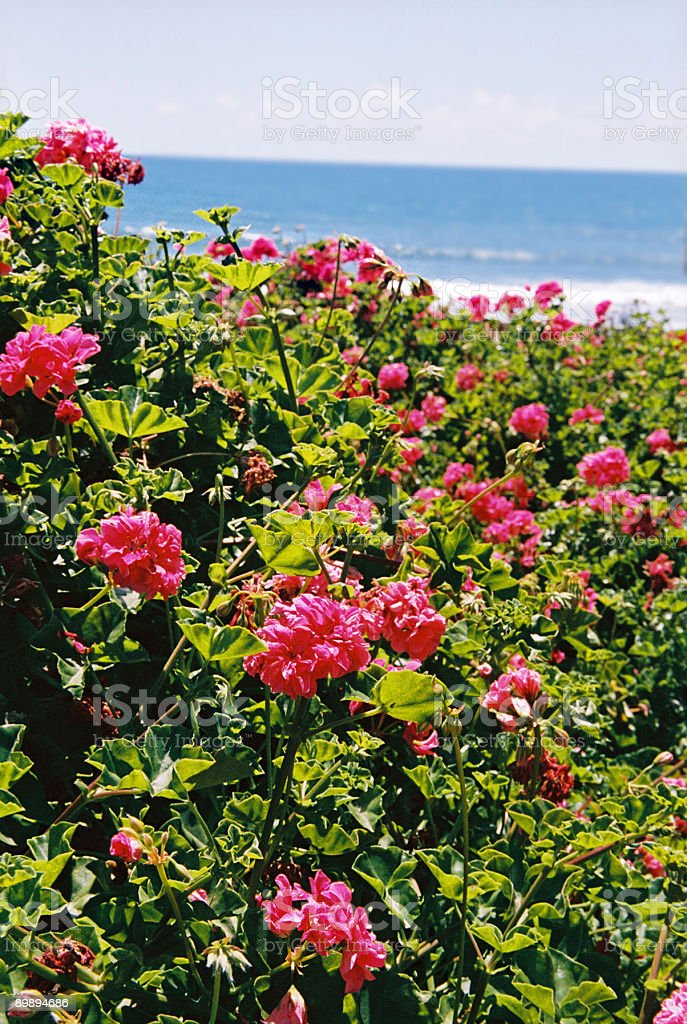 Geraniums by the sea in Mexico royalty-free stock photo