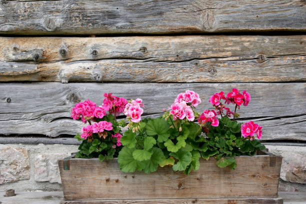 Geraniums in a wooden planter – Foto