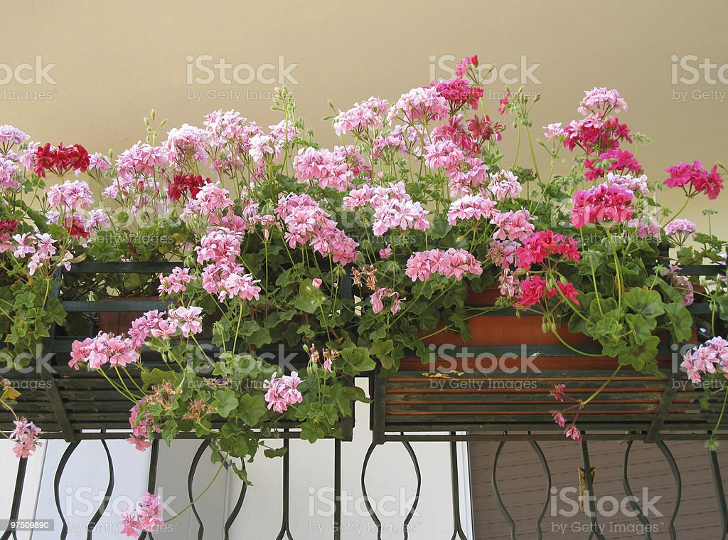 geraniums on balcony royalty-free stock photo