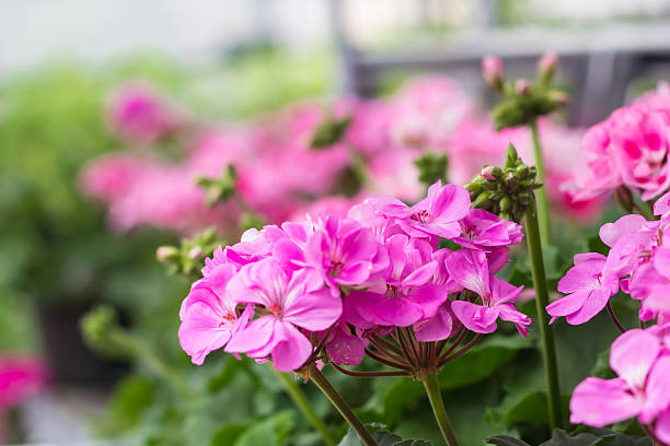 Geraniums stock photo