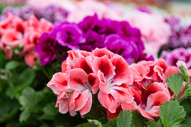 Geraniums rose, pink and purple stock photo