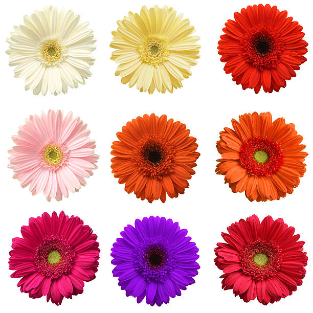 Gerber daisy collection picture id140154494?b=1&k=6&m=140154494&s=612x612&w=0&h=b tmtubu 8tyqhsvos8eb3rdnwxs9og de05bm42ljm=