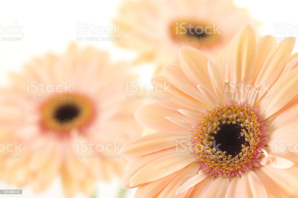 Gerber daisy flower royalty-free stock photo