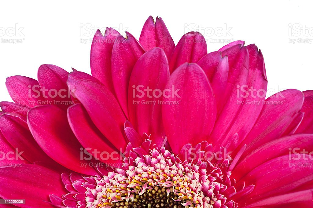 gerber daisy flower plant pink royalty-free stock photo