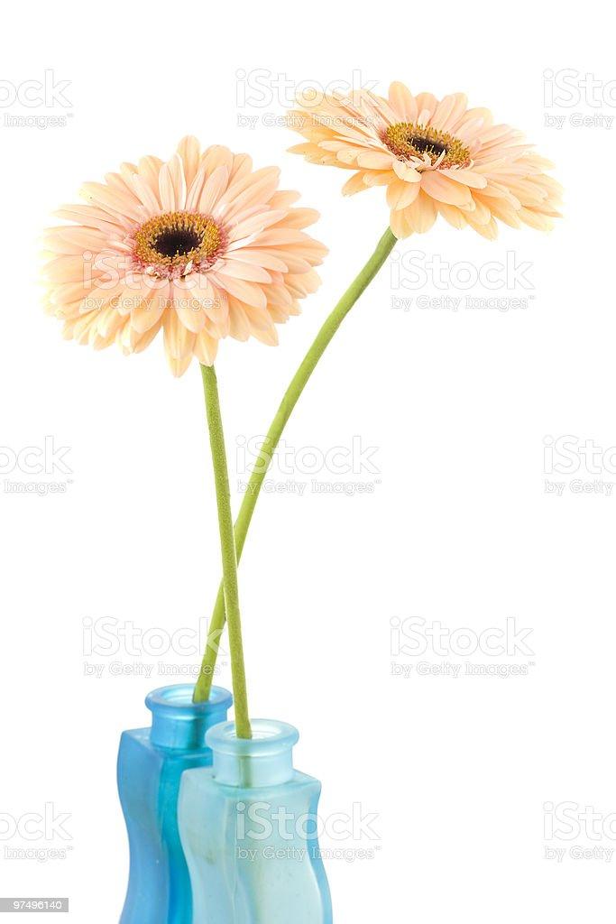 Gerber daisy flowers royalty-free stock photo
