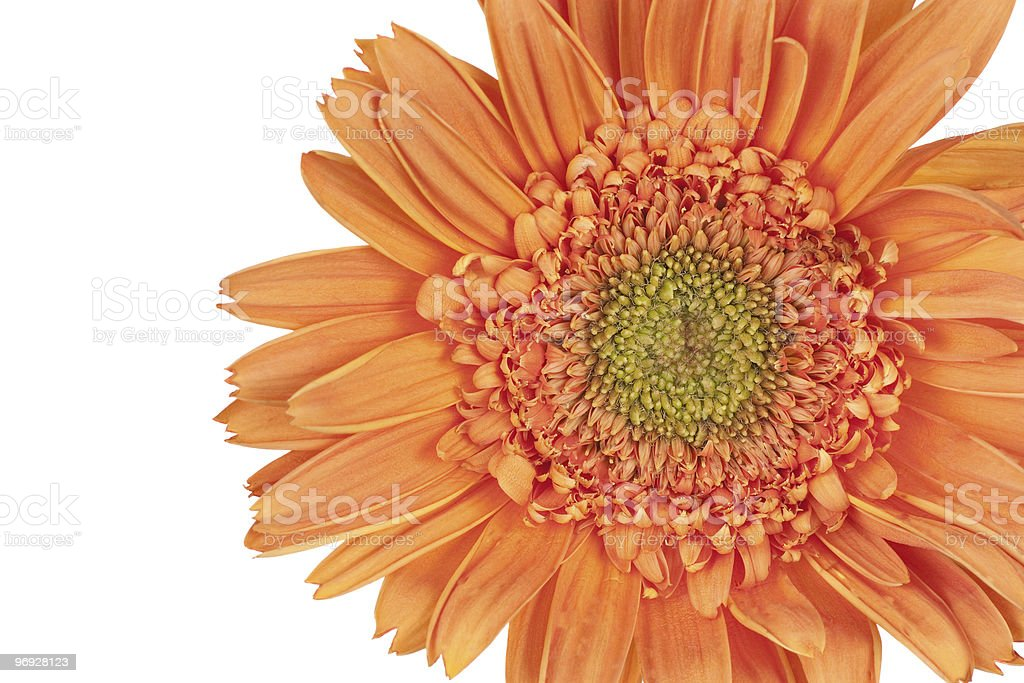 Gerber Daisy Gerbera) royalty-free stock photo