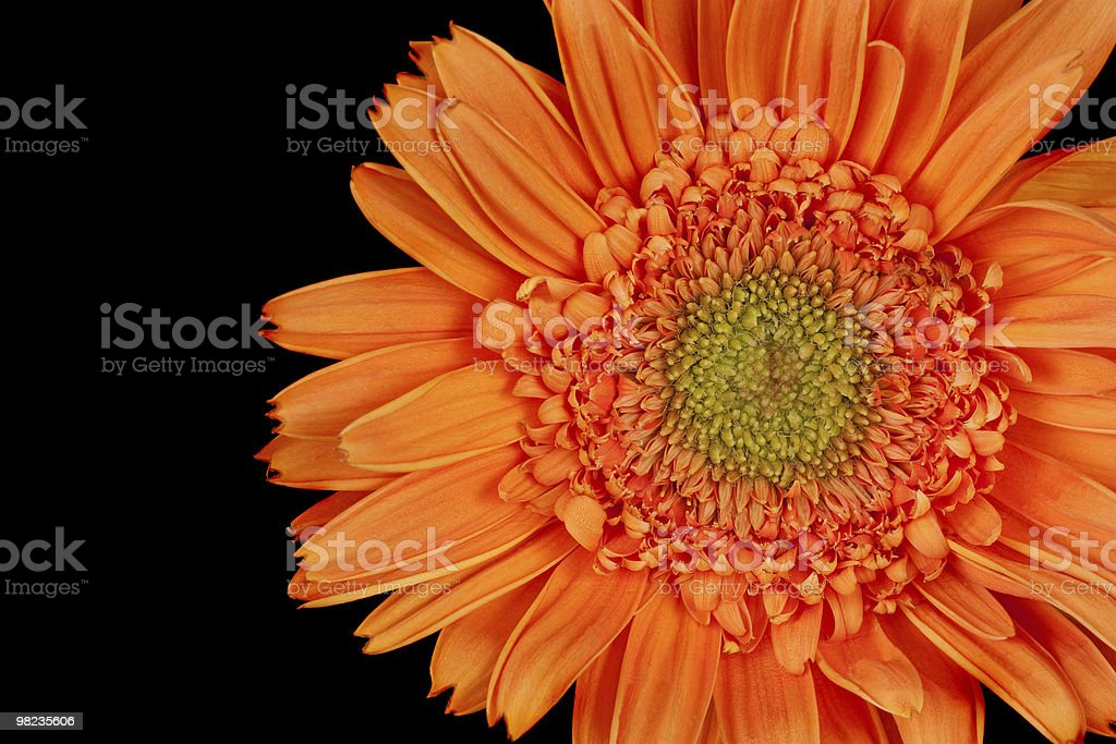 Gerber Daisy, Gerbera royalty-free stock photo
