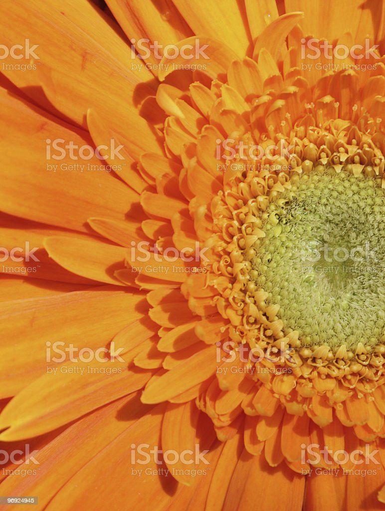 Gerber Daisy Macro royalty-free stock photo