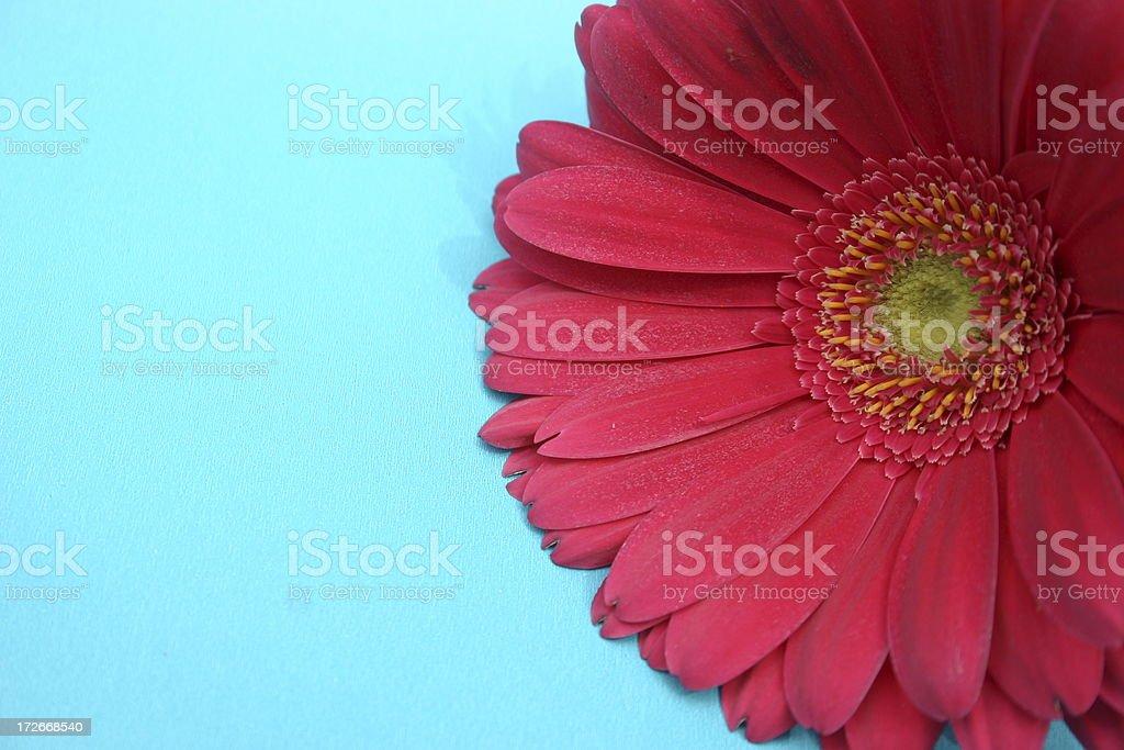 Gerber Daisy royalty-free stock photo