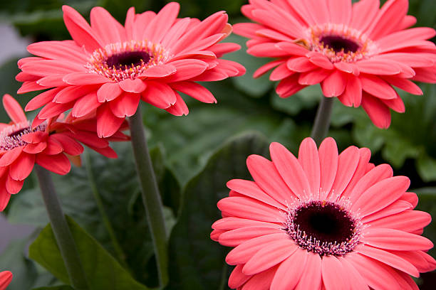 gerber daisy - spring stock photos and pictures