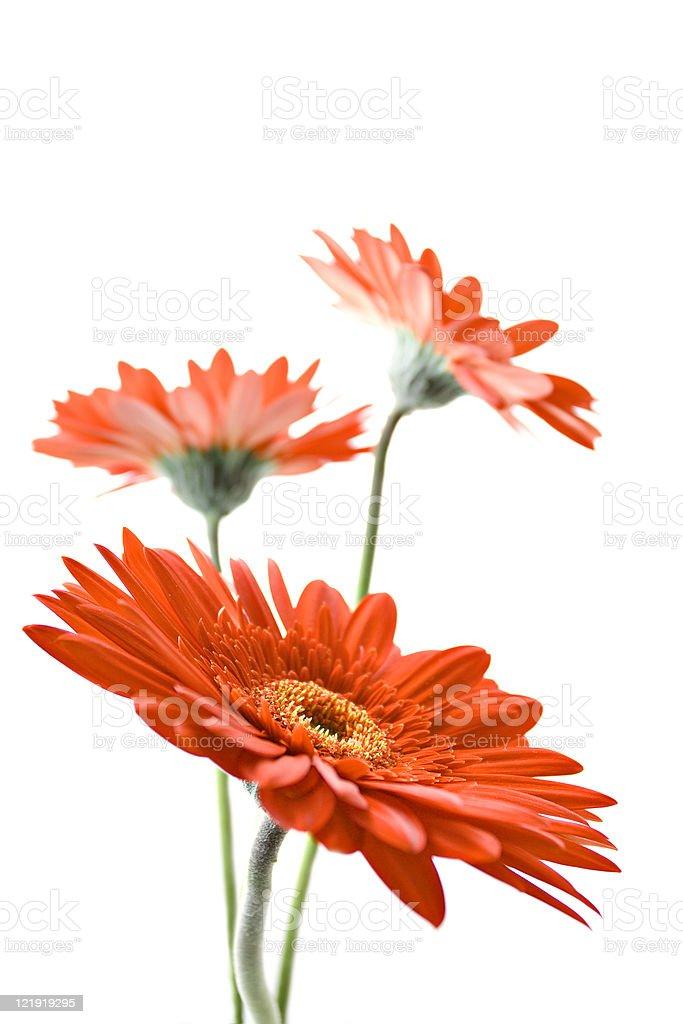 Gerber Daisy - series stock photo