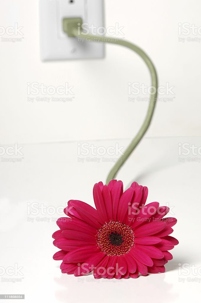 Gerber Daisy with Stem Plugged into Electrical Socket royalty-free stock photo