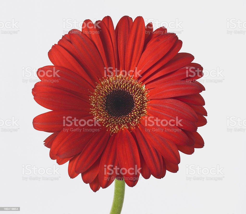 Gerber Daisy-red stock photo