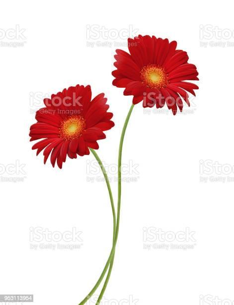 Gerber flower isolated on white background picture id953113954?b=1&k=6&m=953113954&s=612x612&h=so2uw04vpt8gccl8lrttglt946ynvjtgmqnchd9vmlk=