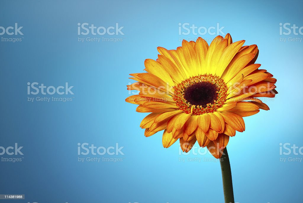 Gerber flower on a blue gradient royalty-free stock photo