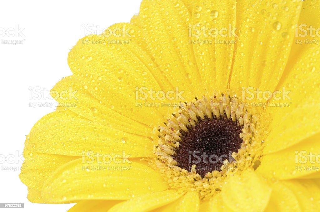 gerber flower with water drops royalty-free stock photo