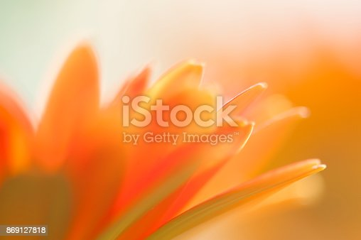 Close-up soft focus of a blooming peach coloured gerber flower.