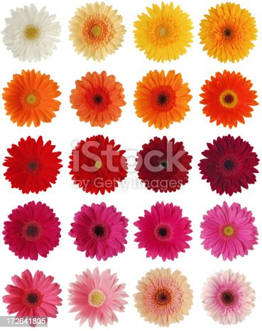 Collection of 20 different gerberas in various colours on white background. Very high resolution image.