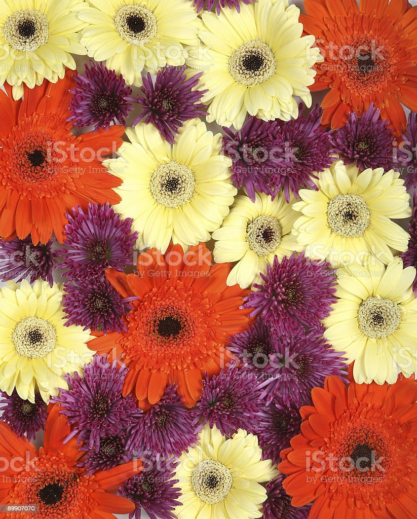 Gerbera Background royalty-free stock photo