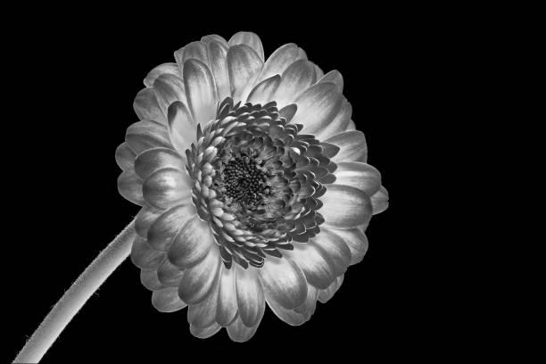 Gerbera schwarz und weiß, grau mit schwarzem Hintergrund – Foto
