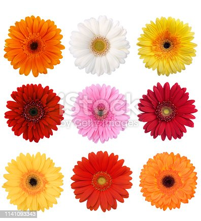 Multi Color Gerbera Daisy Collection Isolated