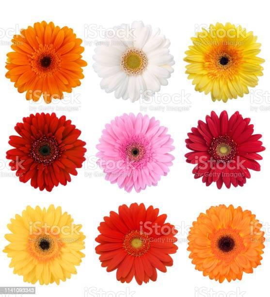 Gerbera daisy collection picture id1141093343?b=1&k=6&m=1141093343&s=612x612&h=glloykenfbmvem ksnnl2llt0wefkkwuiwx5xscs ly=