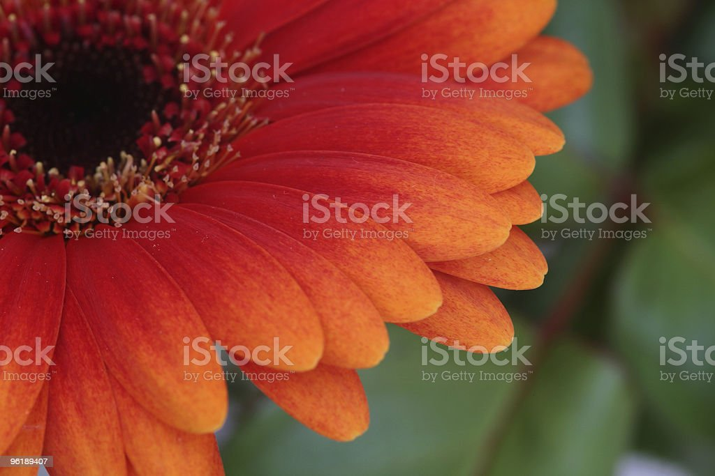 Gerbera daisy detail royalty-free stock photo