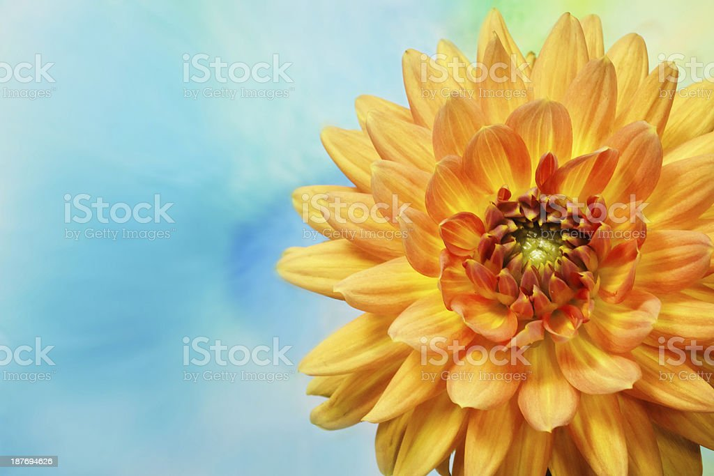 Gerbera Daisy Floral Background royalty-free stock photo
