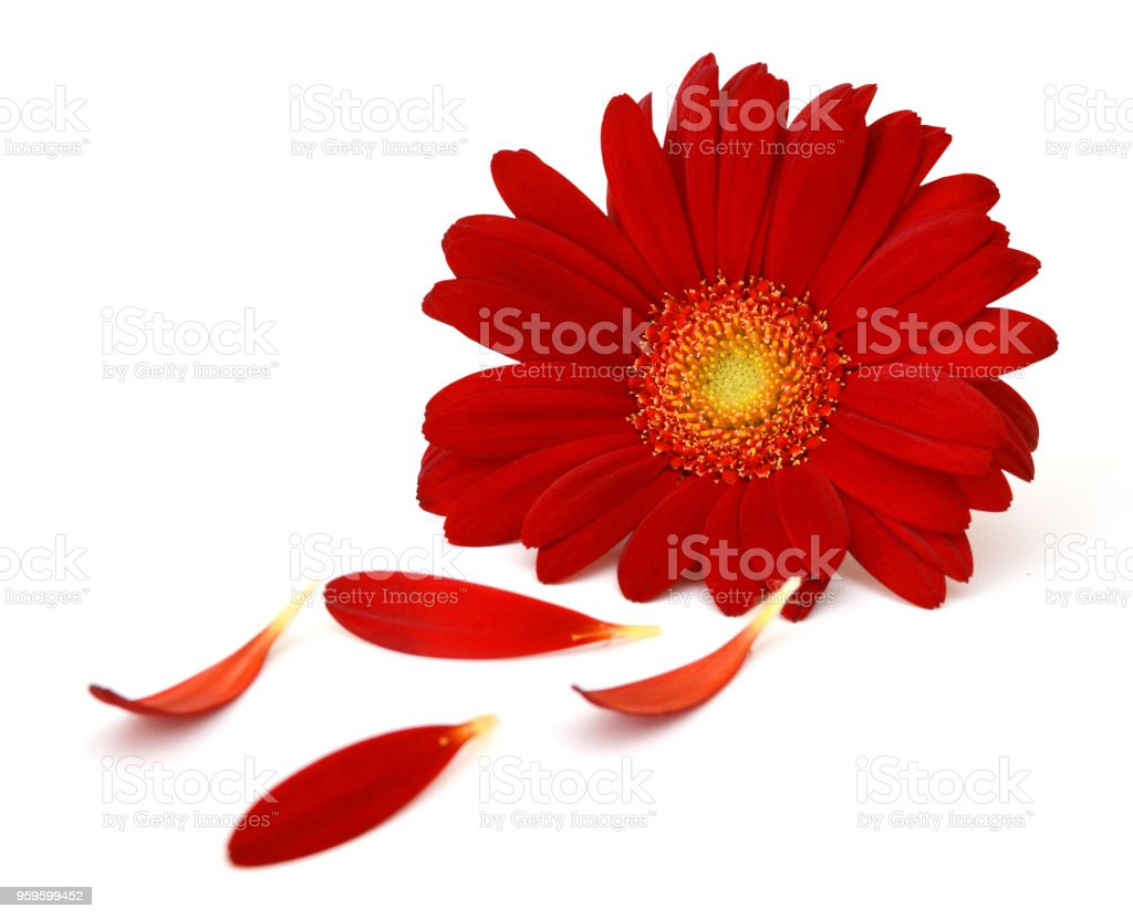 Gerbera Daisy Flower And Petals On White Background Stock Photo