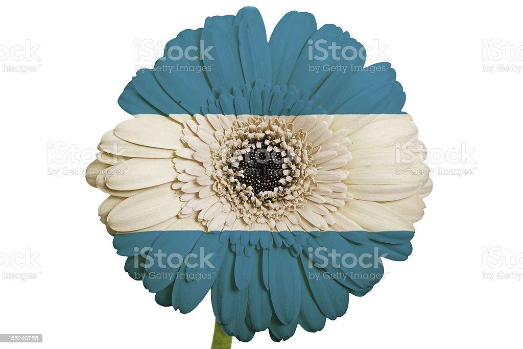 gerbera daisy flower in colors national flag of el salvador stock photo