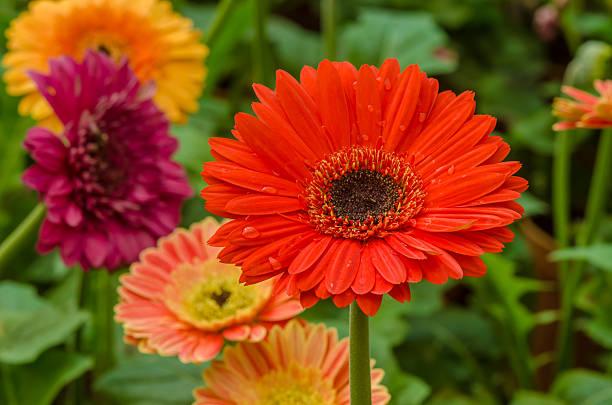 Gerbera daisy flower picture id513673814?b=1&k=6&m=513673814&s=612x612&w=0&h=yfvgjm9fmkcluoxlevkd37c9a dhnq1q3jrdp 9buy4=