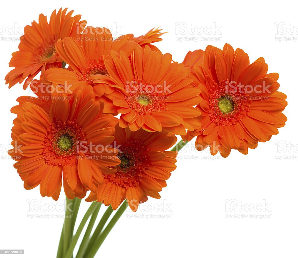 Gerbera Daisy Flowers Bouquet On White Background Stock Photo More