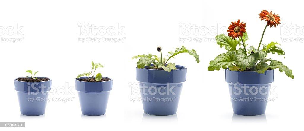 Gerbera wachsenden – Foto