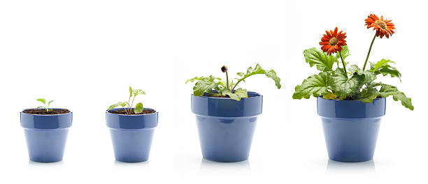 gerbera daisy growing - bloempot stockfoto's en -beelden