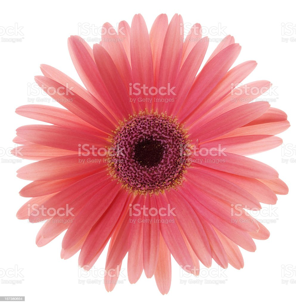 Gerbera Daisy (XL) stock photo