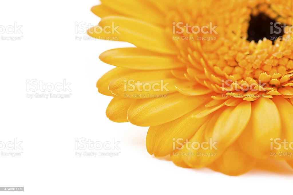 gerbera daisy royalty-free stock photo